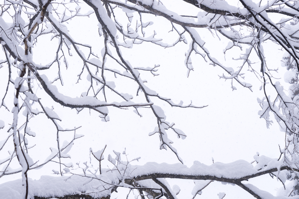 Winter tree branches covered in heavy snow